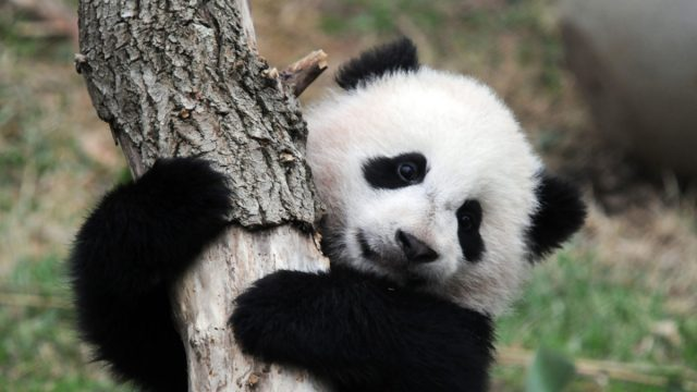 La Panda gigante Bao Bao
