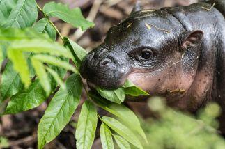 Hipopótamo bebé