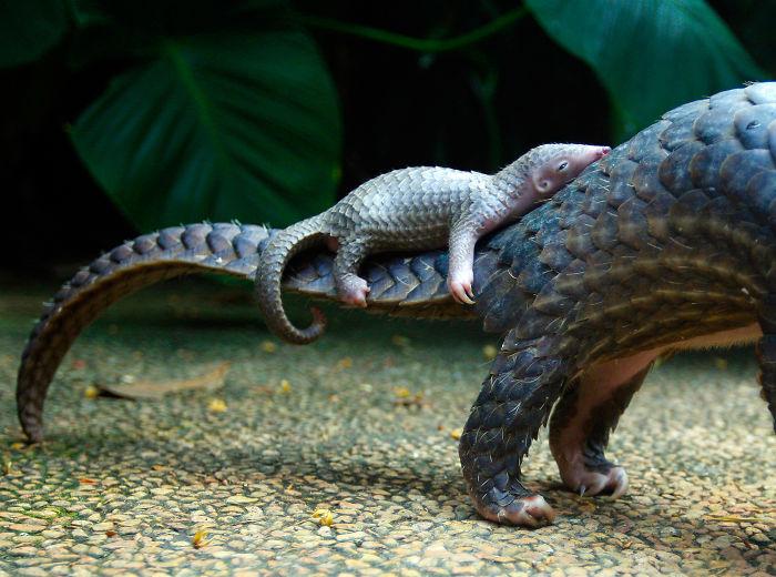 Pangolín Bebé sobre la cola de su madre