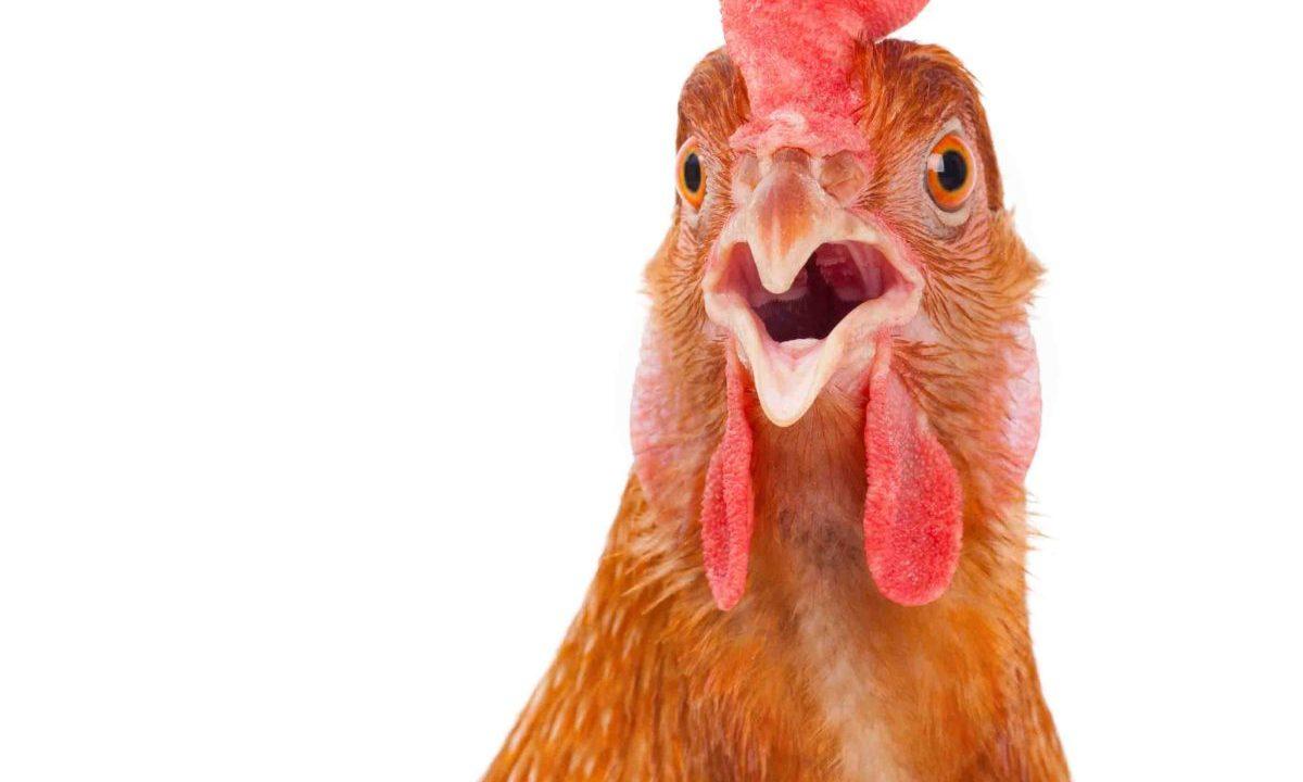 Según pruebas de ADN, la carne de gallina de Subway es sólo 50% carne de gallina