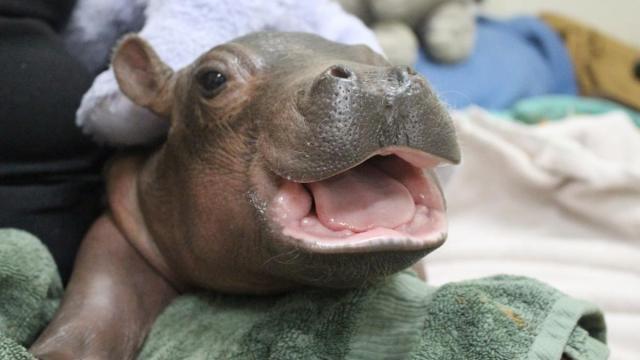 Fiona, la hipopótamo bebé del Zoológico de Cincinnati