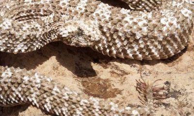 Pseudocerastes urarachnoides víbora con cola de araña