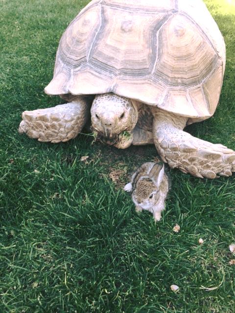 Una tortuga y un conejito se hicieron amigos en el hotel Ritz-Carlton en Dove Mountain