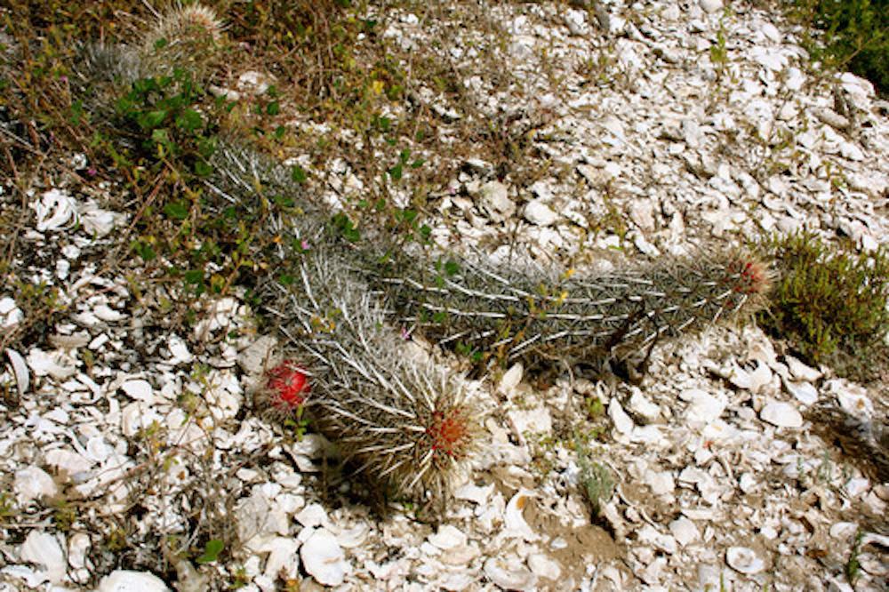 En México hay un cactus reptante y está en peligro de extinción