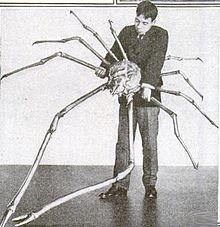 Cangrejo Araña japonés