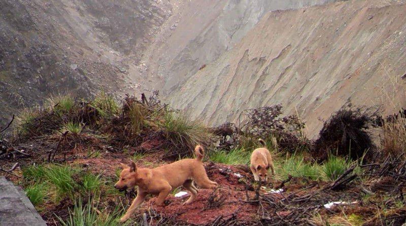perro cantor de Nueva Guinea salvaje