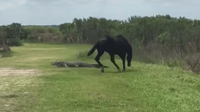 Un caballo salvaje atacó a un cocodrilo en un parque de Florida