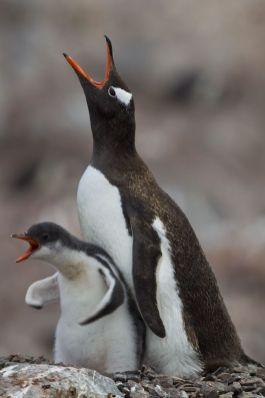 Un pingüino adulto y un pingüino bebé