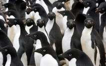 Muchos pingüinos adelaida