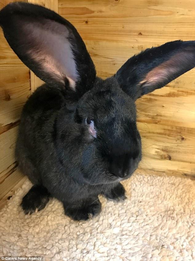 Simón, el conejo gigante continental que murió en un vuelo de United Airlines