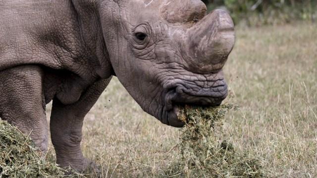Sudan, el último rinoceronte blanco del norte macho