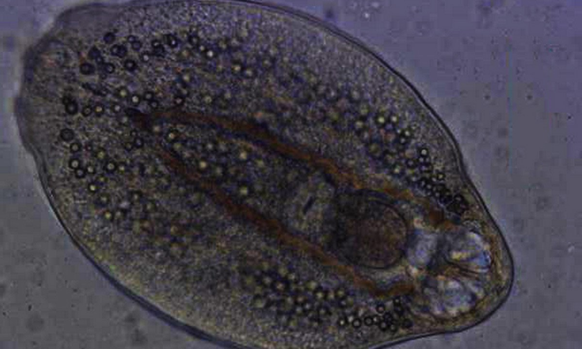 El parásito Diplostomum pseudospathaceum controla a su anfitrión pez desde sus ojos