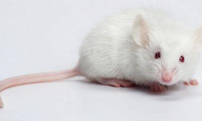 Científicos redujeron considerablemente la infección de VIH en ratones, usando CRISPR/Cas9