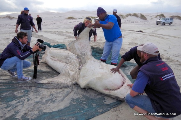 Tiurón blanco hembra víctima de orcas en Sudáfrica