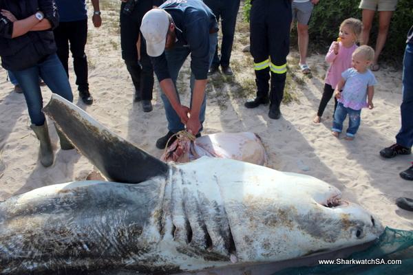 Tiurón blanco macho víctima de orcas en Sudáfrica