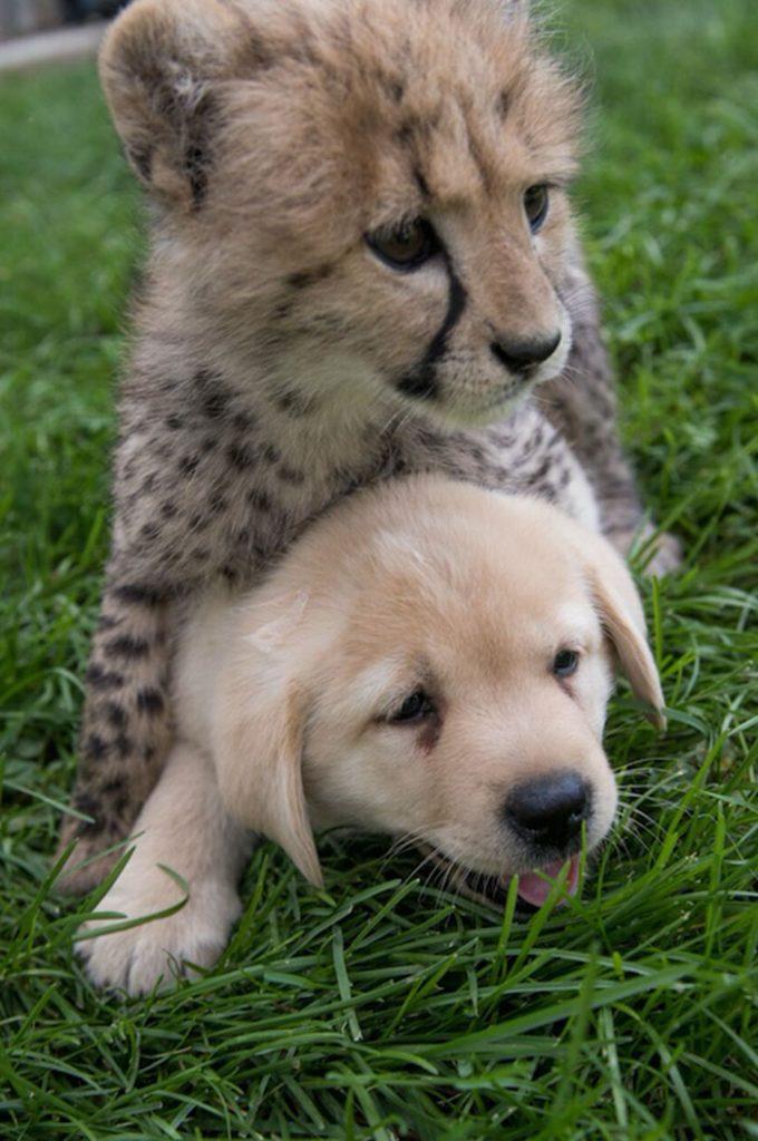 Un chita bebé con un cachorro de perro