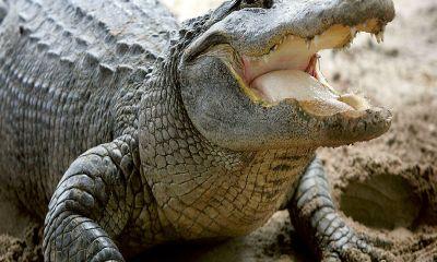 Un australiano aprendió a no meterse con un cocodrilo
