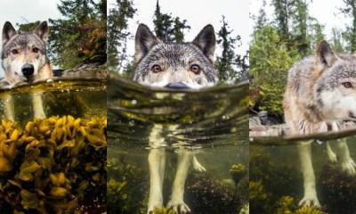 Lobos marinos de las costas de Columbia Británica