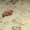 Científicos encontraron un pez caminante pero no han podido identificar la especie