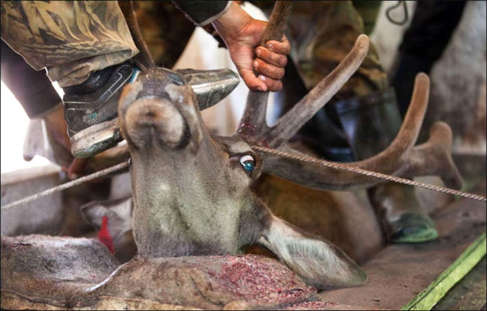 Matan a ciervos para un baño de sangre