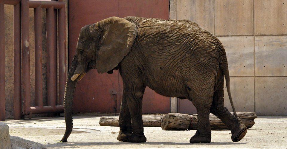 Ely, la elefante del Zoológico de San Juan Aragón
