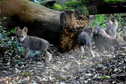 Lobeznos de lobo mexicano en Los Coyotes