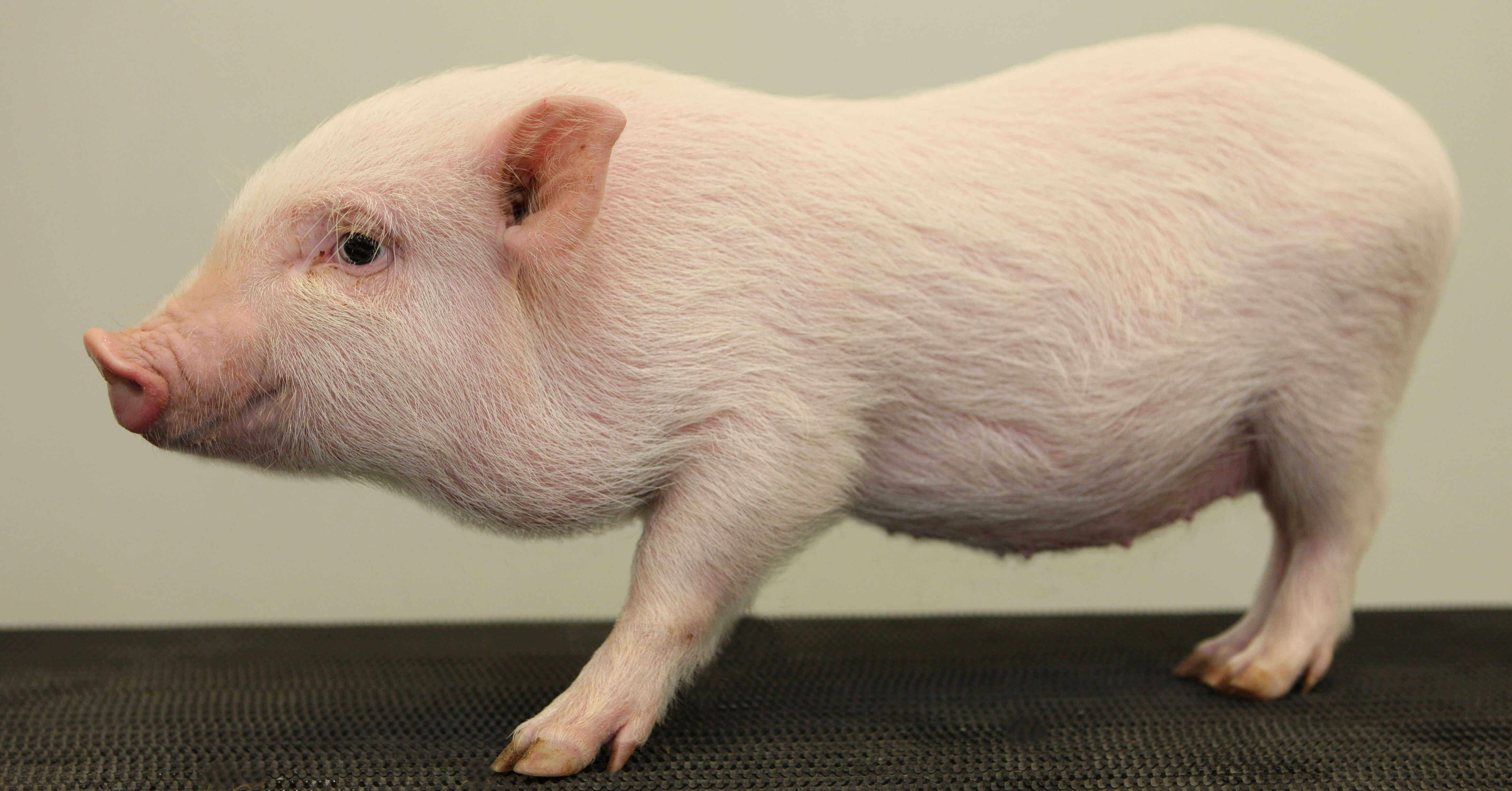 Oso, Minicerdo, Minipig, Monterrey, mini pig, mini pigs