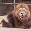 Bonedigger el león y su amigo, un perro salchicha