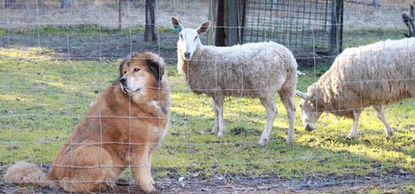 Mastin tibetano en una granja de ovejas