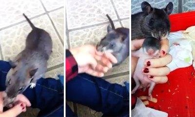 Rata enseña su cría a su humano