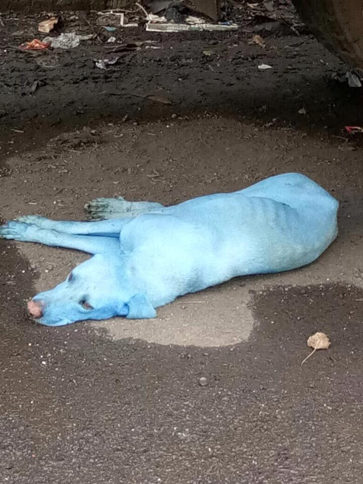 En Bombay, India, están apareciendo perros azules