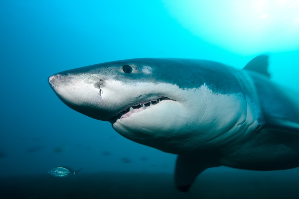 Acercamiento a tiburón blanco nadando en el mar