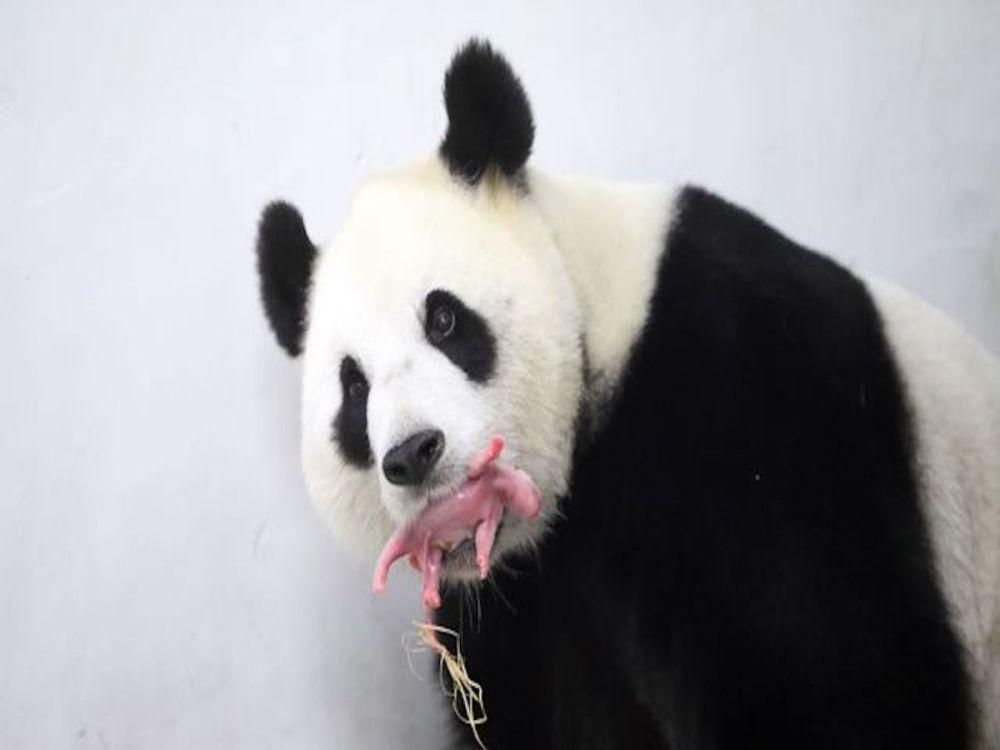 Video primer mes de panda causa ternura en red