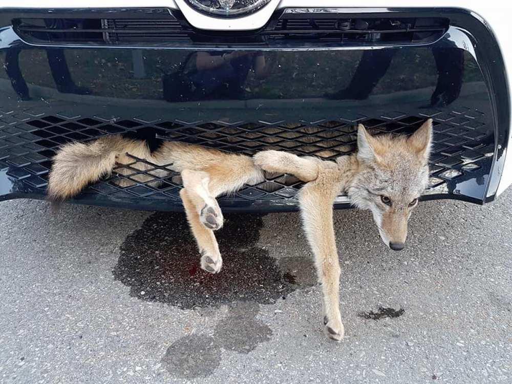 Coyote se incrusta en la parrilla de un auto