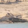 Mira cómo los hipopótamos salvan a un ñu de ser devorado por un cocodrilo