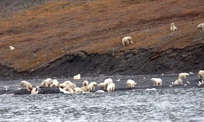 Osos polares devoran a cadáver de ballena encayada