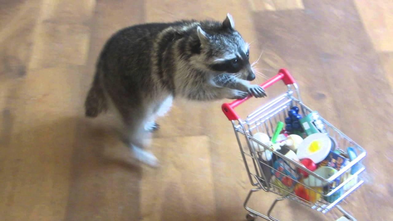 animales, reglas, chistosos, mapaches, perros, gatos, patos
