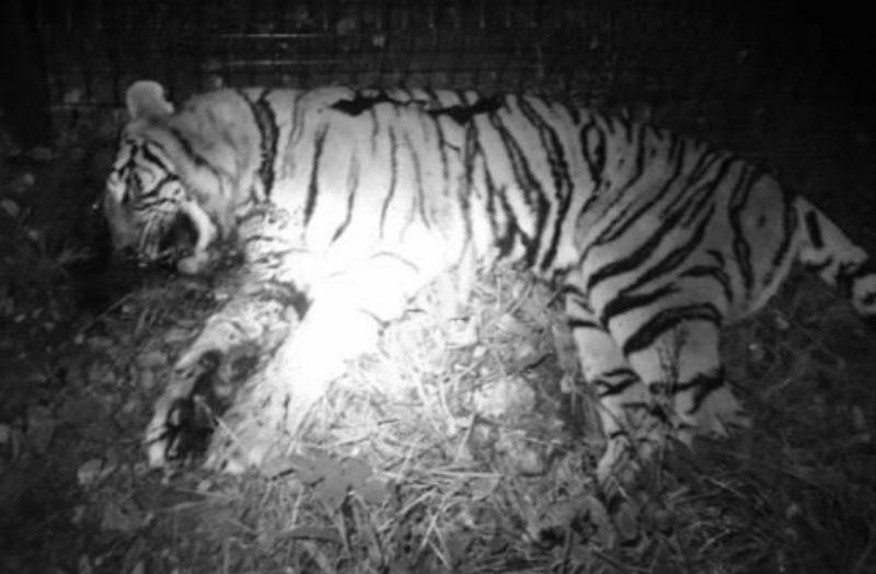 Tigre asesinado en París por el circo Bormann Moreno