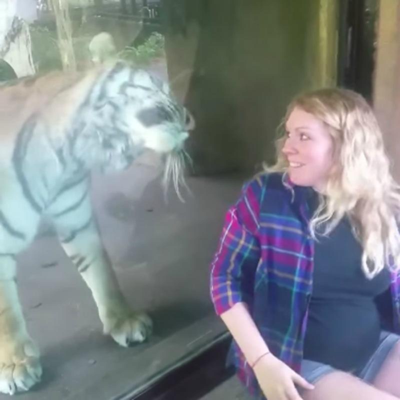 Mujer Embarazada, Video, Tigre , Tigresa, Embarazada, Gatos