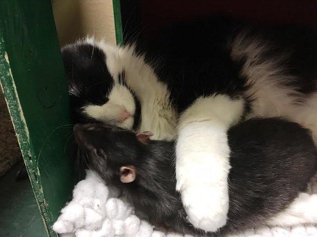 gato-rata-amigos