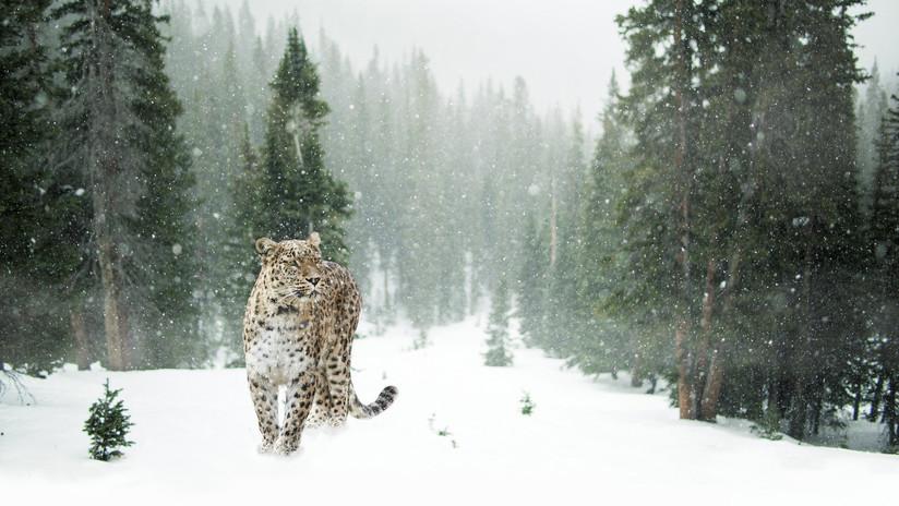 Leopardo de Amur en la nieve