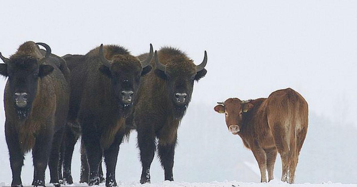 Una vaca escapó para vivir libre entre bisontes