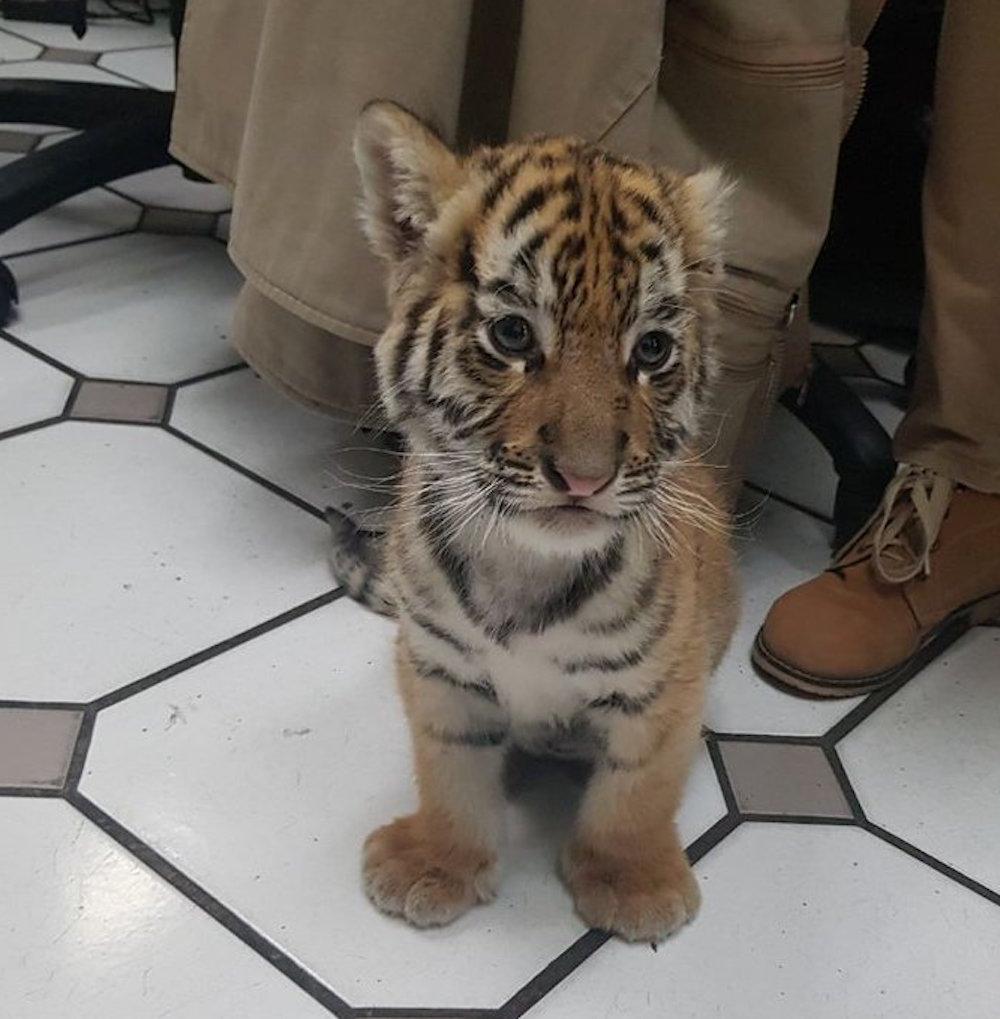 tigre-cachorro-Profepa-rescate