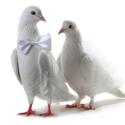 Palomas casadas