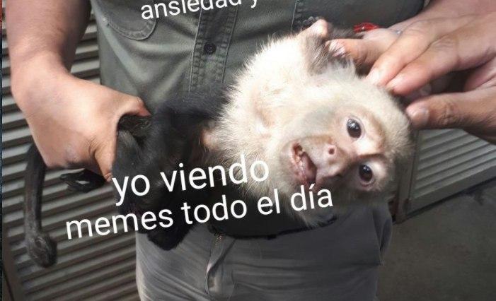 Así-reaccionaron-los-mexicanos-a-la-captura-del-Mono-Capuchino-de-Reforma