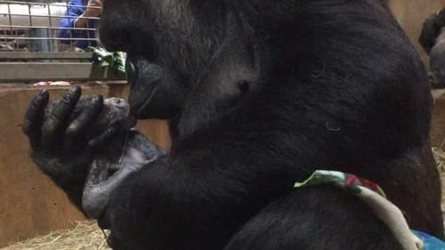 Mamá Gorila besa a su bebé gorila