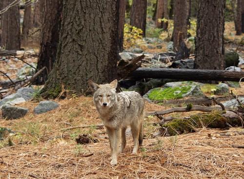 Coyowolf, la cruza de perro, coyote y lobo