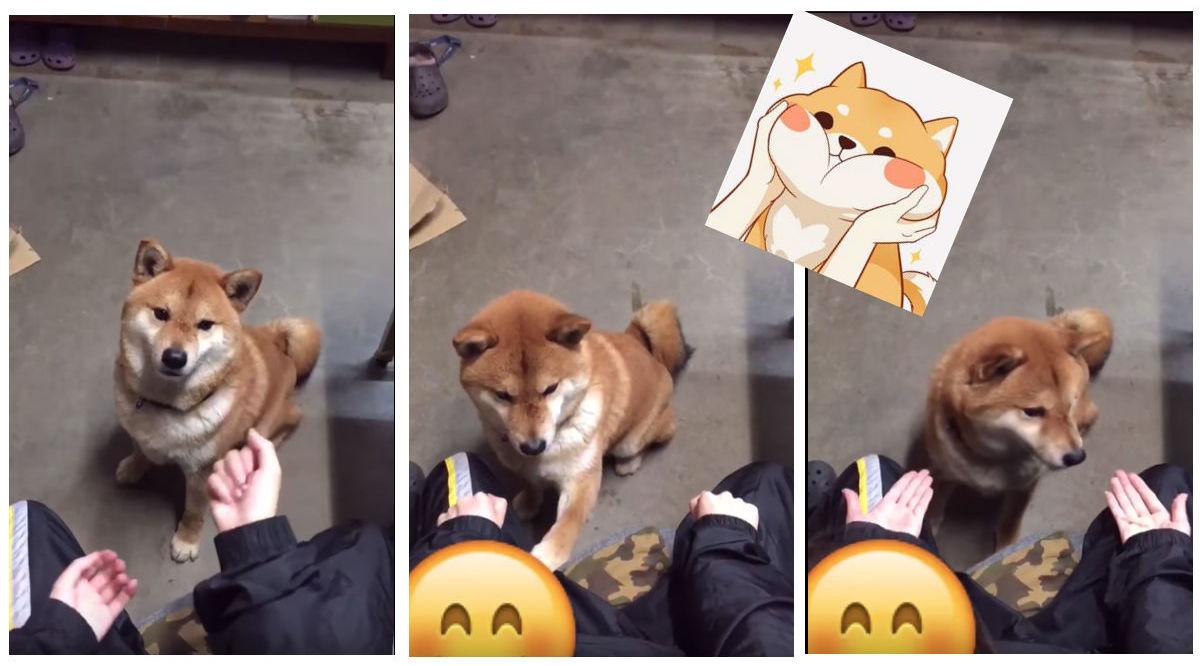 Shibu-Inu-Truco-Magia-Doggo-Perro