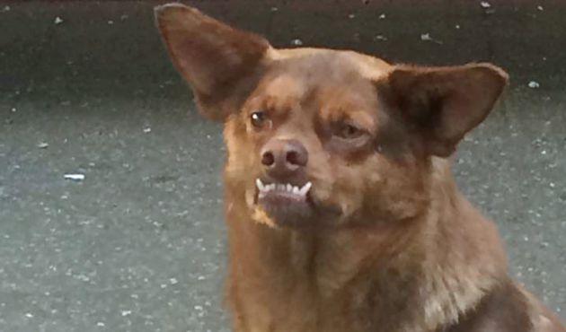 foto-chilaquil-perro-viral-famoso-2017