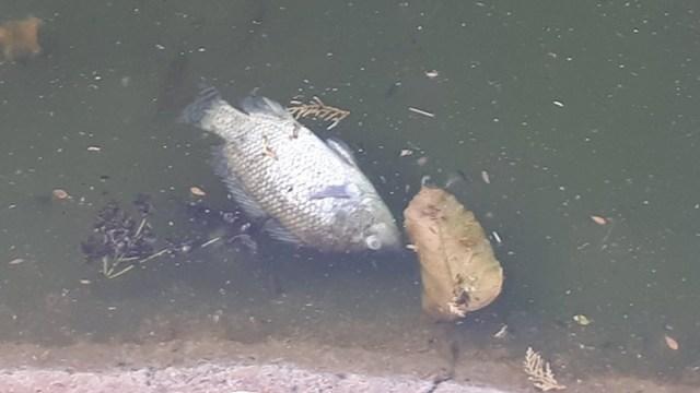 Peces Muertos Lago Chapultepec